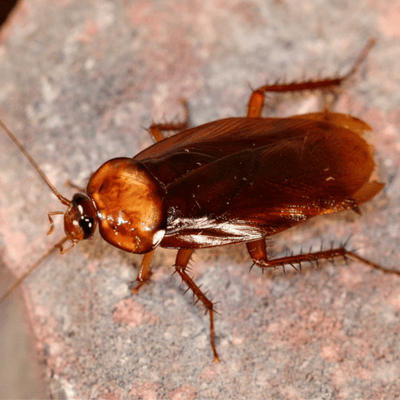 Studies show cockroaches are connected to termites.
