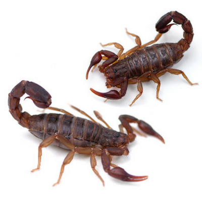 These scorpions can be found in the Carolinas.