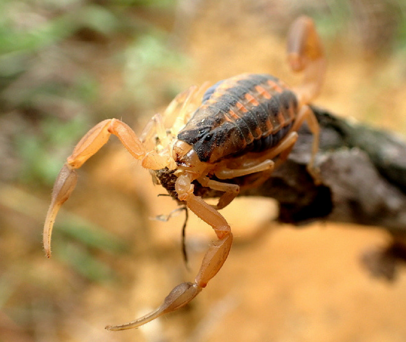 Striped Scorpions can be found in the Carolinas.