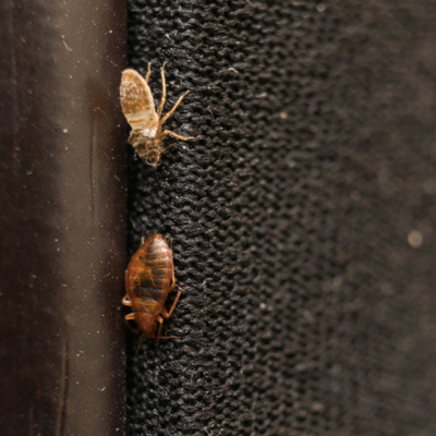 Bed bugs will leave spots in sheets