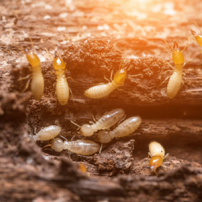 Termites infest your home
