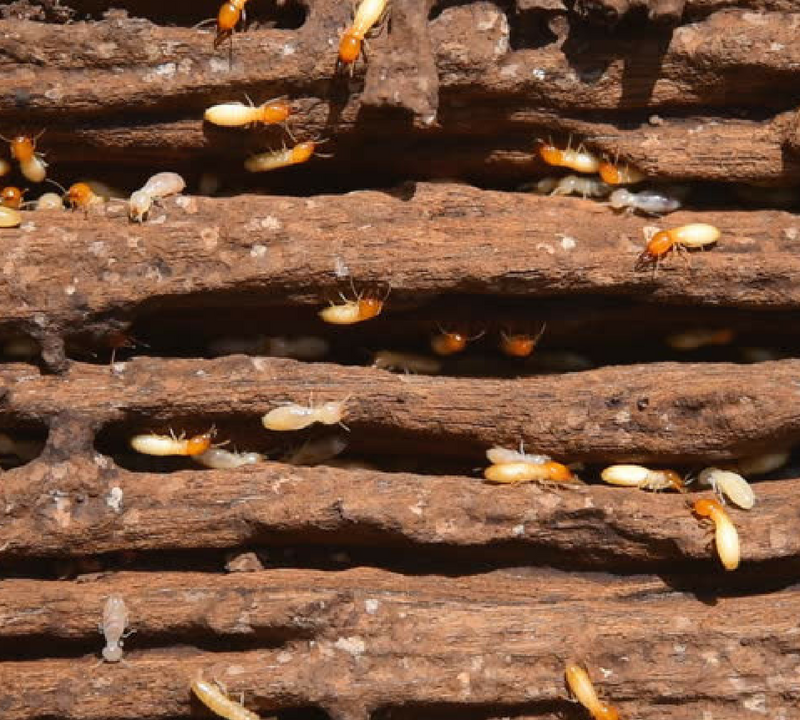 Termites inside wood in house
