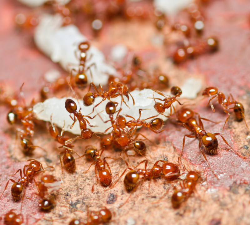 post-storm pests fire ants
