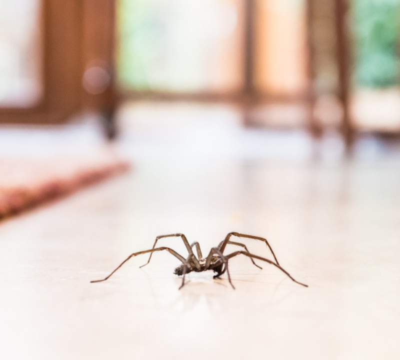 fall pest control spider in your house