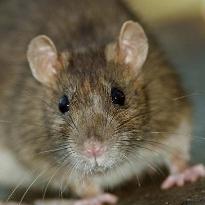 pest control for mice, South Carolina