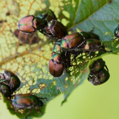 Japanese beetles are a common lawn pest that can defoliate trees and damage plants in your Fort Mill, SC lawn.
