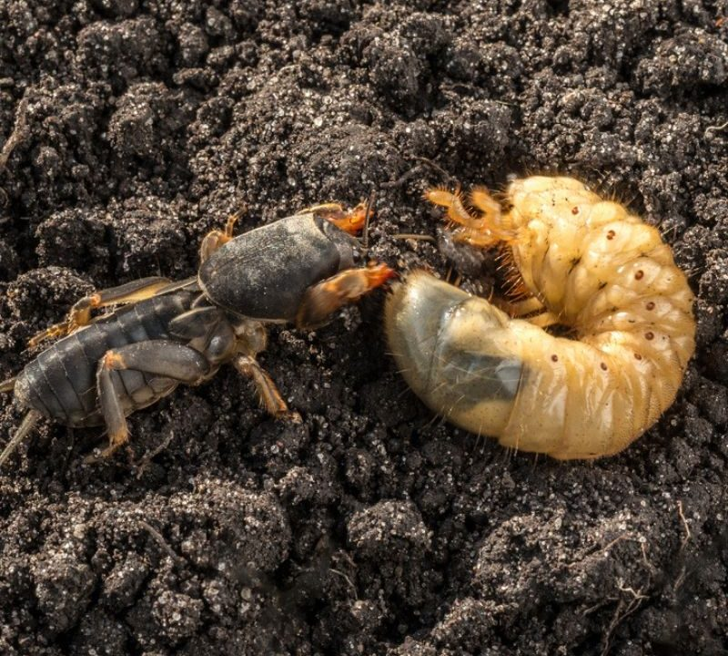 Mole crickets and grubs, the larval form of Japanese beetles, are destructive and common lawn pests in South Carolina.
