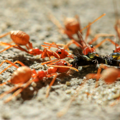 Fire ants are some of the worst residential pests here in Charlotte, NC, making residential pest control a must.