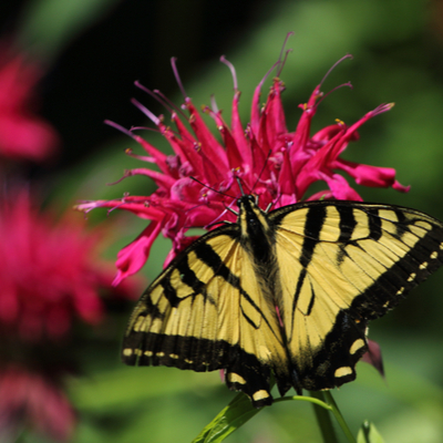 Planting flowers like bee balm is a great way to attract pollinators to your Monroe, NC garden.