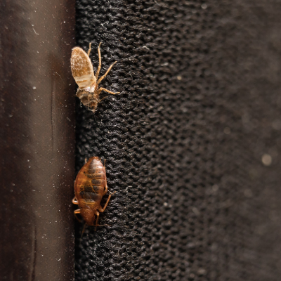 Check your bed for bed bug casings to detect if you have a bed bug infestation in your Charlotte, NC home.