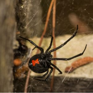 Black widows are a common pest here in Charlotte, NC.
