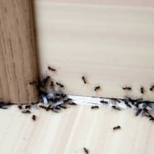 Ants are some of the common pests to look out for here in Charlotte, NC.