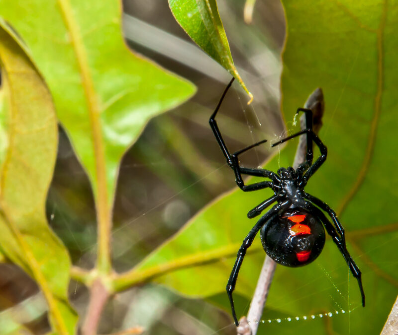 Venomous spiders, including this black widow, live with us here in Concord, NC; invest in pest control services from Cramer Pest Control to keep your home safe.