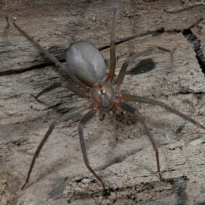 One of the most venomous spiders here in Concord, NC is the brown recluse spider.