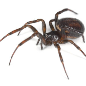 The false widow is another venomous spider here in Concord, NC to be aware of.