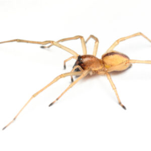 The yellow sac spider is one of the most venomous spiders invading Concord, NC homes this fall.