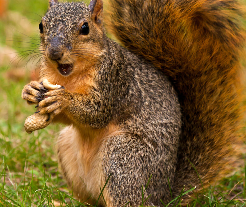 Effective fall rodent control will keep squirrels out of your Concord, NC attic.