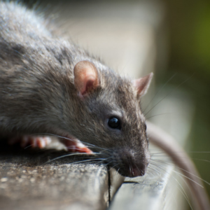 Fall rodent control will keep rats out of your Concord, NC kitchen this fall and winter.