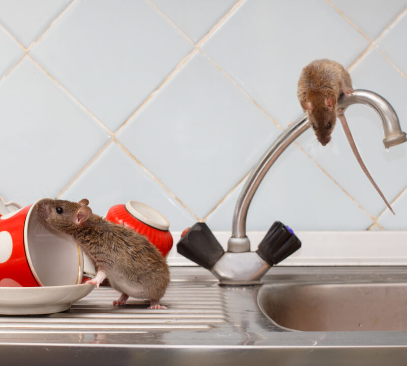 Your 2020 pest control plan will help prevent an infestation of rats, mice, and other rodents this year.