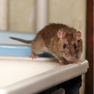Rats are some of the most common rodent infestations here in Concord, NC, making winter rodent prevention essential.
