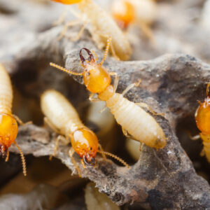 Termites have colonies that can reach over 2 million individuals, making them one of the worst pests to find in your South Carolina or North Carolina home.