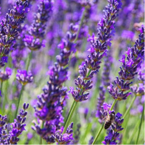 Lavender is another one of the best pest-repelling plants to plant in your lawn and garden this spring.
