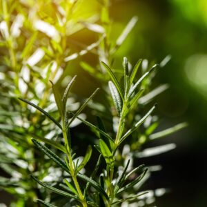 Rosemary is one of the best pest-repelling plants to add to your South Carolina or North Carolina lawn and garden.