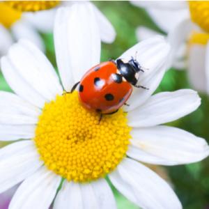 lady bug on a flower