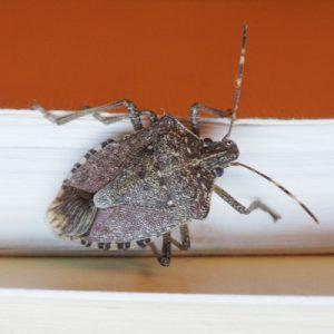 stink bug on wall