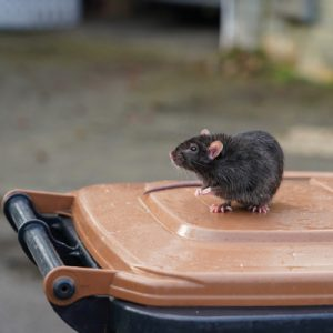 rat on garbage