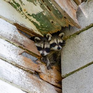 raccoons in wall
