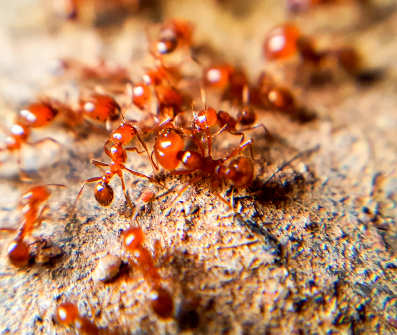 fire ants on mound