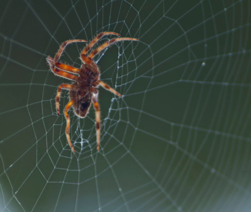 brown recluse on web